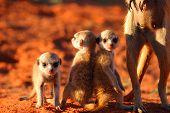 Meerkat (Suricata suricatta) pups sitting atop their burrow next to their mother. poster