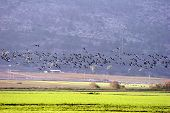 Migrating Cranes on mountains and meadows background. poster