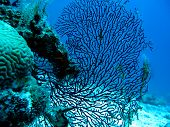 Coral reef with gorgonian also known as sea whip or sea fan on the bottom of red sea in egypt - underwater photo poster
