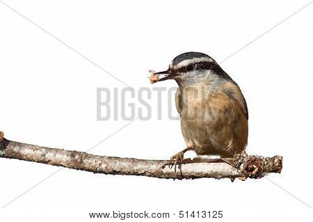 Nuthatch And Suet