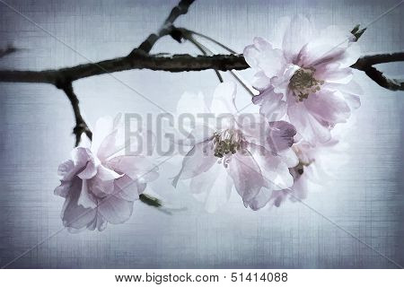 Japanese Weeping Cherry Blossoms With Textures