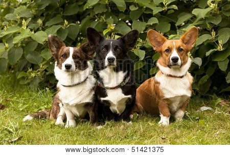 three Welsh Corgi Pembroke dogs  sitting on the grass   poster