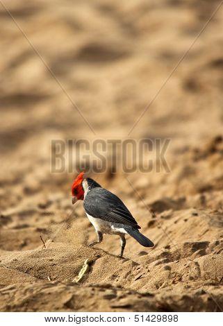 Cardinal on Beach