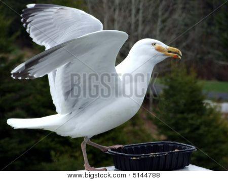 Seagull Close Up Feeding