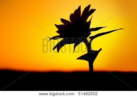 Flower silhouette against sunlight