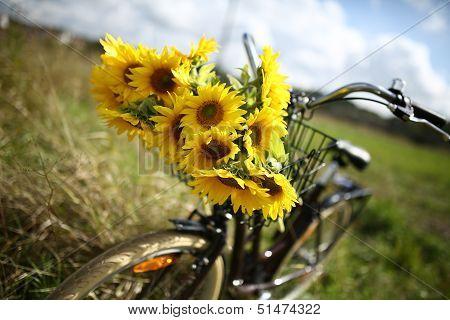 Beautiful sunflowers on a bicyle s basket