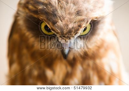 angry face of an owl