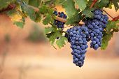 Close-up of large bunches of red wine grapes on the vine, with warm blurred background and copy space. poster