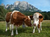 Two young Simmentaler dairy cows in a pasture. poster