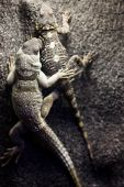 two beautiful gray lizards on a rock poster
