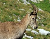 Female alpine ibex (capra ibex) or steinbock portrait in Alps mountain, France poster