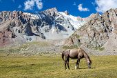 Horse in mountains feeding grass at sunny day, Tien Shan poster