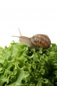 close up on a snail eating green salad poster
