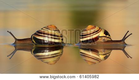 Two snails in the water