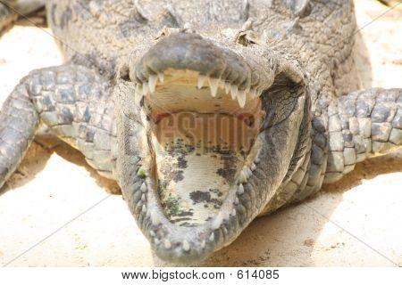 Crocodile Mexico poster