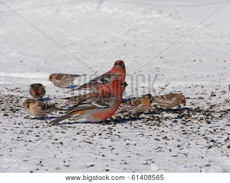 beautiful pine grosbeaks and finches