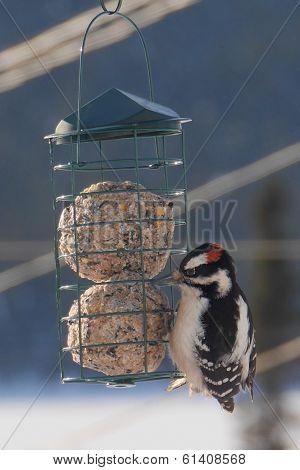 beautiful woodpecker at feeder