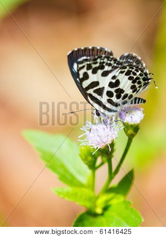 Small black and white butterfly sucking food from flower, Common Pierrot