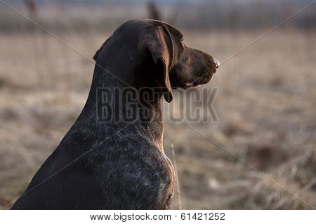 Pointer Hunting Dog Looking Into The Distance