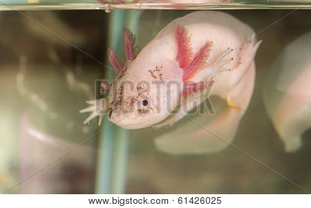 Axolotl In Water