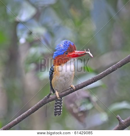 Multicolored Kingfisher male Banded Kingfisher (Lacedo pulchella) breast profile with lizard on the branch poster