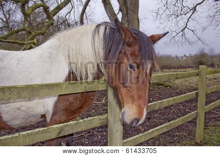 Horse with Fence