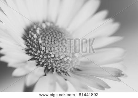 Black And White Daisy Flower Macro.