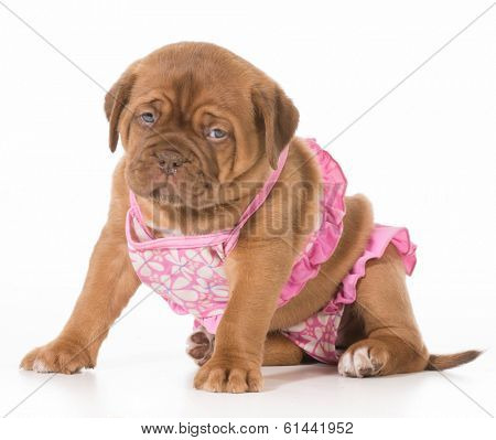 female puppy - dogue de bordeaux wearing pink bikini isolated on white background - 6 weeks old poster