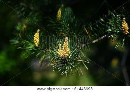 Blooming pine bud.