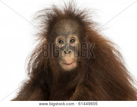Young Bornean orangutan looking impressed, Pongo pygmaeus, 18 months old, isolated on white