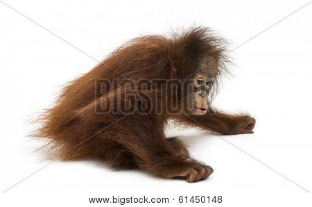Young Bornean orangutan sitting down, Pongo pygmaeus, 18 months old, isolated on white