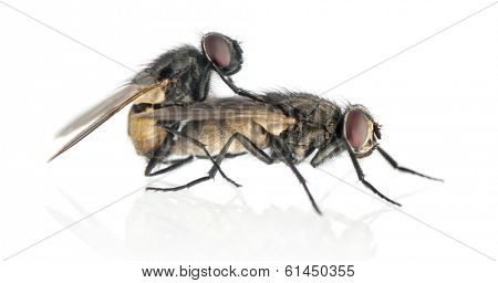 Side view of two House flies copulating, Muscidae, isolated on white