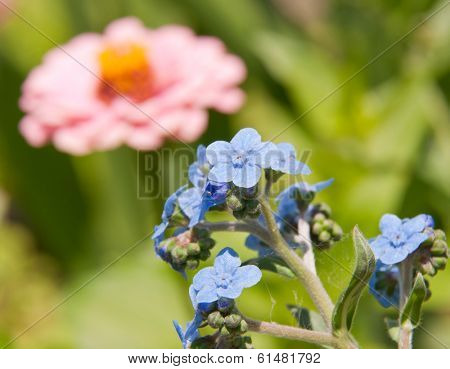 Baby blue Chinese Forget-me-not flowers in summer garden