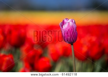 Purple tulip in a field