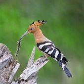 Beautiful bird Eurasian Hoopoe (Upupa epops) standing on a branch poster