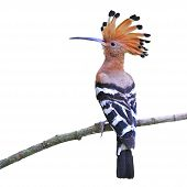 Colorful Hoopoe Eurasian Hoopoe (Upupa epops) back profile standing on a branch isolated on a white background poster