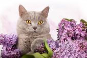 British kitten rare color and lilac flowers poster