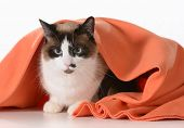 cat hiding under covers - ragdoll sitting under orange blanket on white background - male poster