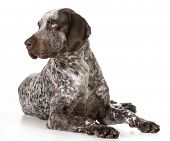 german shorthaired pointer laying down isolated on white background poster