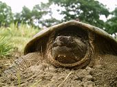 snapping turtle laying her eggs poster