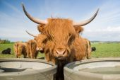 Fold of Highland Cattle against a blue sky and a green field poster