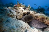 giant moray taken in the red sea. poster