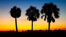 Three Palm Trees at sunset