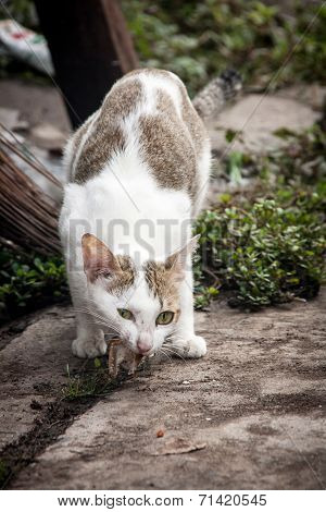 Close Up Stray Cat Eating On The Floor