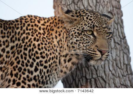 Leppard In Tree