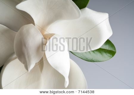 Flowered Magnolia