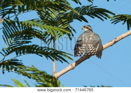 A Shikra (accipiter Badius) Spreading Its Tail Feathers In The Sun