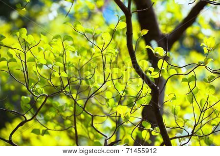 Bright leaves and branches of dogwood (Cornus florida)