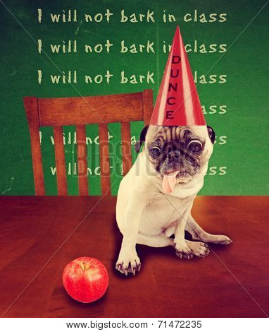 funny dog card with a pug wearing a dunce hat looking at an apple - back to school concept