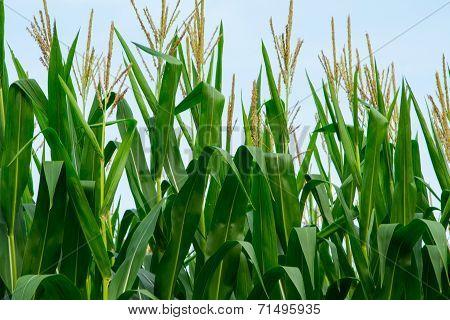 Cornstalks and tassels in a cornfield